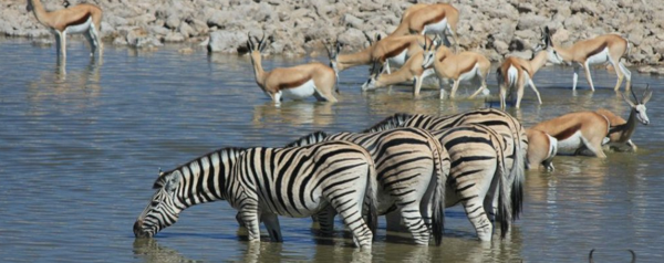 Self Drive Safaris Namibia Zebra