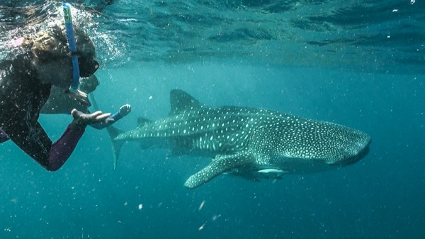Whale sharks aussieoverlanders