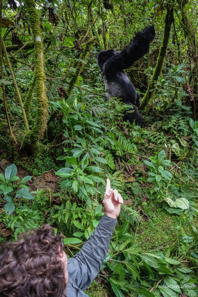 Gorilla and Man in Rwanda