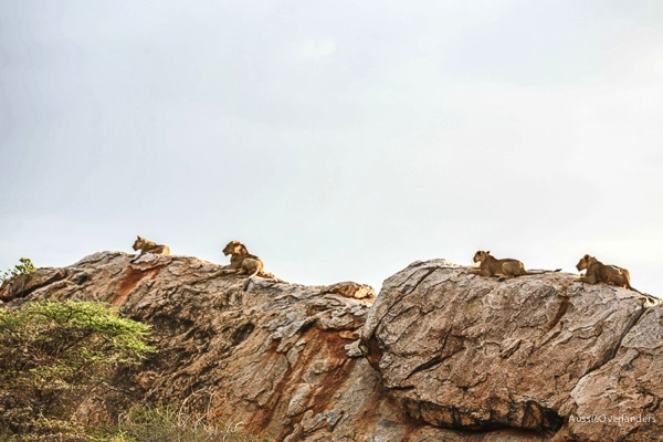Rock climbing lions of Shaba National Park, Joys Camp, Kenya